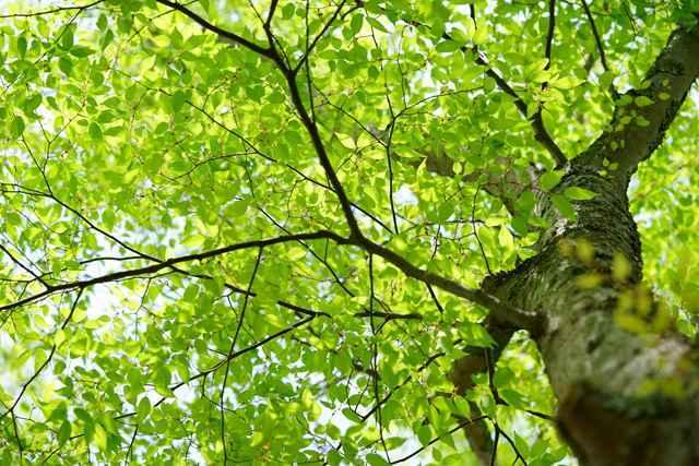 日本三大美林に選ばれる、木曽ヒノキの美しさ